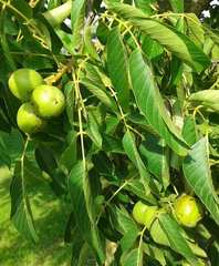 Walnüsse am Baum - Walnuss, Nuss, Natur, heimische Pflanzen, Nahrungsmittel, Baum, Laubbaum, Frucht, Nussbaum, unreif, Umhüllung, Blätter