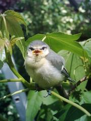 junge Blaumeise - Blaumeise, Vogel, Meise, Singvogel, flügge, Jungvogel