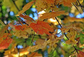 erste Herbstboten #5 - Herbstfarben, Herbst, Blattfärbung, Sonne, Himmel, Herbstlaub, Laub, Blätter, bunt, Jahreszeit, Ahorn, Sonne, Impression, Meditation, Hintergrund, Stimmung, Farbenspiel, Farbe, Oktober