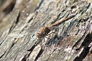 Libelle - Braune Mosaikjungfer #1 - Libelle, Großlibelle, Flugkünstler, Flügel, Insekt, braun, Facettenaugen, Flügel, Gewässer, Libelle, Libellen, Herbst, Sommer, fliegen, Hautflügel, Insekten, Gliederfüßler, Flügelpaar, Männchen, Imago, Biotop, Naturschutz