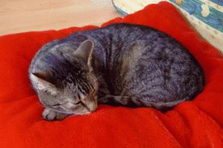 Katze auf rotem Kissen - HuS, Haustier, Katze, Ruhe
