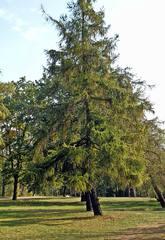 Lärche - Lärche, Nadelbaum, Kieferngewächs, Pinaceae, Nadel, Herbst, Herbst, Baum, Gewächs, grün, Stamm, Baumkrone