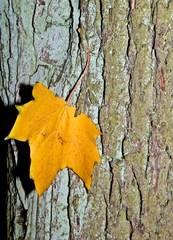 Herbstblatt - Herbstfarben, Herbst, Blattfärbung, Herbstlaub, Laub, Blätter, bunt, Jahreszeit, Ahorn, Impression, Meditation, Hintergrund, Stimmung, Farbenspiel, Farbe, Oktober
