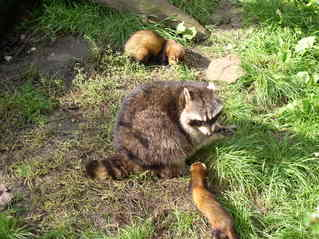 Wäschbär und Frettchen - Frettchen, Iltis, Wäschbär, Kleinbär, Pelztier, Marder, Haustier, Zoo, Fell, beobachten, neugierig, Zootier