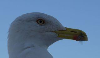 Möwenkopf - Möwe, Vogel, Kopf, Auge, Schnabel