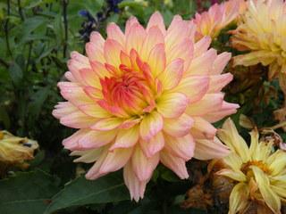 Dahlie - Herbst, Blüte, Dahlie, Korbblütengewächs, Korbblüte, Knolle, Knollengewächs, Zierpflanze, Kulturpflanze