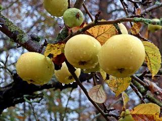 Apfel am Baum - Apfel, Äpfel, Kernobstgewächs, Rosengewächs, Obst, Frucht, Herbst, Blätter, Früchte, Blätter, gelb, reif