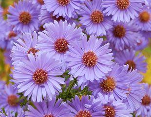 Chrysanthemenblüten / Asternblüten - Chrysantheme, Korbblütler, Zierpflanze, Herbstpflanze, lila, Blüte, Kulturpflanze, Blüten, Aster, Herbstaster