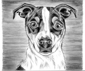 Jack Russell Terrier Amy - Hund, Haustier, Tier, Terrier, Jack Russell Terrier, Hunderasse