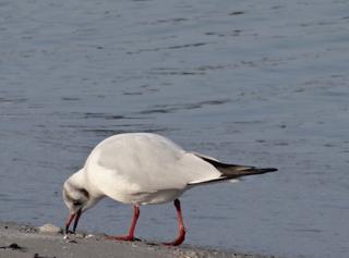 Möwe 3 - Möwe, Vögel, Wasservogel, Futtersuche, Meer