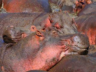 Flusspferde 5 - Flusspferd, Nilpferd, Hippo, Hippopotamus amphibius, Säugetier, Vegetarier, Pflanzenfresser, Afrika, Paarhufer, schwer, gefährlich, Wildtier