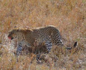 Leopard1 - Leopard, Wildtier, Großkatze, Raubtier, Katze