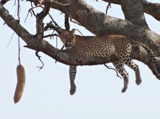 Leopard 2 - Leopard, Wildtier, Großkatze, Raubtier, Katze