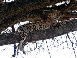 Leopard 3 - Leopard, Wildtier, Großkatze, Raubtier, Katze