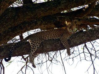 Leopard4 - Leopard, Wildtier, Großkatze, Raubtier, Katze