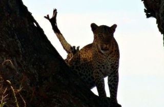 Leopard5 - Leopard, Wildtier, Großkatze, Raubtier, Katze