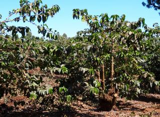 Kaffeepflanzen - Kaffee, Plantage, Afrika, Tansania, Rötegewächs, Kaffeebohnen, Samen