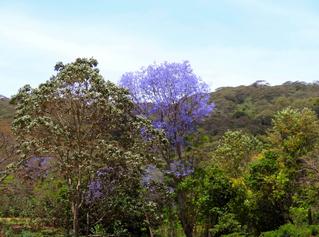 Jacaranda#1 - Baum, Tansania, Afrika, Trompetenbaumgewächs