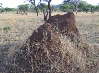 Termitenhügel#1 - Afrika, Savanne, Serengeti, Termiten, Erdnest, Wärmespeicherung, Termitenbau, Termitenhügel, Klimaregulation, Schutz vor Fressfeinden, Tierbehausung