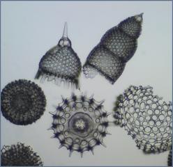 Radiolarien - Radiolaria, Einzeller, Mikroskop, radial, Haeckel, Protozoen, Silikatskelett