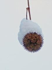 Platane im Winter#2 - Baum, Laubbaum, Winter, Schnee, Frost, hängen, Frucht, Früchte, Zweig, winterlich