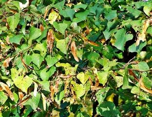 Sommerlinde; Blätter und Früchte - Linde, Sommerlinde, Lindenblüte, Heilmittel, Laub, Baum, Laubbaum, Blatt, Blätter, Fruchtstand, Frucht