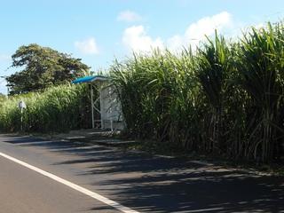 Zuckerrohr_1 - Pflanzen, einkeimblättrige Pflanzen, Süßgräser, Monokultur, Plantagen, Indischer Ozean, Mauritius, Rohstoff Zucker, Saccharose