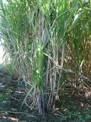 Zuckerrohr_2 - Pflanzen, einkeimblättrige Pflanzen, Süßgräser, Monokultur, Plantagen, Indischer Ozean, Mauritius, Rohstoff Zucker, Saccharose