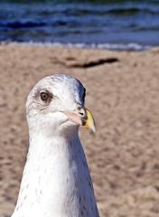 Portrait Möwe - Vogel, Meer, Möwe, Kopf, Auge, Schnabel, frontal, Feder, Hals, Wasservogel