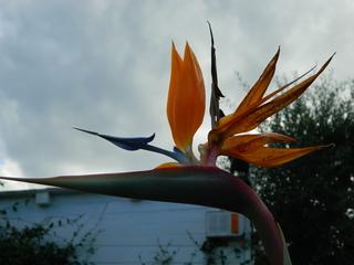 Strelitzie#1 - Blume, Blüte, Strelitzie, Paradiesvogelblume, orange