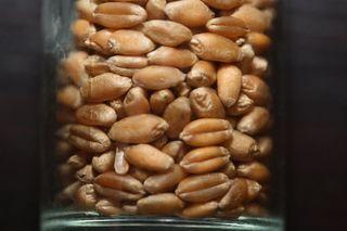 Weizen-Samen - Saat, Samen, Sprossen, Weizen, Brot, Makro, Korn, Getreide, Süßgras, Grundnahrungsmittel, Brotgetreide, Bedecktsamer, einkeimblättrig
