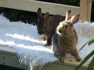 Kaninchen Jungtiere im Garten - Kaninchen, Jungtiere, Hase, Hasenartige, Haustier, Freilauf, Pflanzenfresser, Leporidae, Karnickel, Nagetier, Fell, Ohren