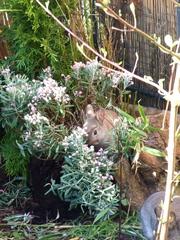 5 Wochen junge Kaninchen - Kaninchen, Jungtiere, Hase, Hasenartige, Haustier, Freilauf, Pflanzenfresser, Leporidae, Karnickel, Nagetier, Fell, Ohren