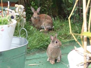 Kaninchen Häsin mit Jungtier - Häsin, Muttertier, Kaninchen, Wildkaninchen, Jungtier, Hase, Hasenartige, Haustier, Freilauf, Pflanzenfresser, Leporidae, Karnickel, Nagetier, Fell, Ohren