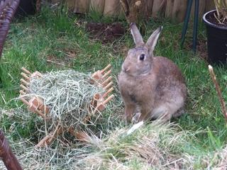 Kaninchen Muttertier mit fehlendem Brusthaar nach Nestbau - Kaninchen, Muttertier, Nestbau, Häsin, Hase, Hasenartige, Haustier, Freilauf, Pflanzenfresser, Leporidae, Karnickel, Nagetier, Fell, Ohren