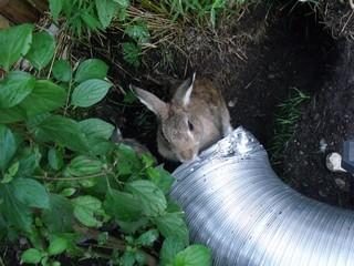 Kaninchen betrachten ein Alurohr für ihre Baue - Kaninchen, Kaninchenbaue, Kaninchenbau, Tunnel, Hase, Hasenartige, Haustier, Freilauf, Pflanzenfresser, Leporidae, Karnickel, Nagetier, Fell, Ohren