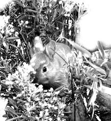 Kaninchen  Jungtier - Kaninchen, Kaninchen, Wildkaninchen, Hase, Hasenartige, Haustier, Freilauf, Pflanzenfresser, Leporidae, Karnickel, Nagetier, Fell, Ohren
