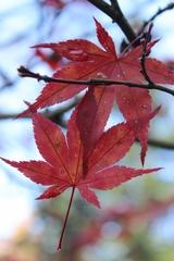Herbststimmung 1 - Herbststimmung, Laub, Ahornblätter, Färbung, Herbst