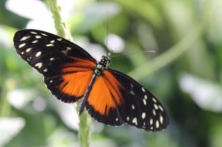Schmetterling  - Schmetterling, Falter, Flügel, fliegen, Symmetrie
