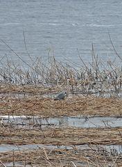 Graureiher am Ufer #3 - Graureiher, Gefieder, Standvogel, Schreitvogel, grau, Fischreiher, Tarnung, Küste