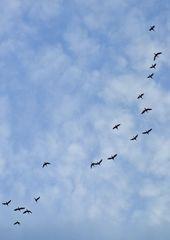 Vogelzug - Frühjahr, fliegen, Zugvögel, Vogel, Vögel, Ortswechsel, unterwegs, pendeln, Flug, fortbewegen, Flugbild, Vogelflug, Wolken, Formation, Vogelzug, Winter, Herbst, Schwarm, Schwarmvogel, Zugverhalten, Luftwiderstand