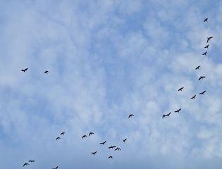 Zugvögel - Frühjahr, fliegen, Zugvögel, Vogel, Vögel, Ortswechsel, unterwegs, pendeln, Flug, fortbewegen, Flugbild, Vogelflug, Wolken, Formation, Vogelzug, Winter, Herbst, Schwarm, Schwarmvogel, Zugverhalten, Luftwiderstand