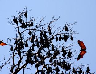 Flughund fliegt Baum an - Flughund, fruitbat, Fledertier, nachtaktiv, Pflanzenfresser