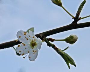erste Frühlingsblüte - weiß, Blüte, Knospe, Frühling, Bote, Gruß, Frühlingsgruß, Pflanze, blühen, Pollen, Samenanlage, Blütenblätter, Blatt, Blätter