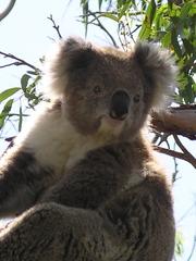 Koala - Koala, Beuteltier, Australien, Beutelsäuger, Fell, nachtaktiv, Eukalyptus, Australien, Baumtier, Baumbewohner, Revier, Symbol, kuschlig, Kuscheltier, Schreibanlass, grau, bedrohte Art, Aussterben