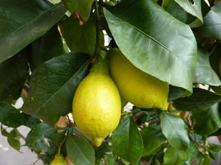 Zitronen am Baum - Zitrone, Zitrusfrucht, gelb, Frucht, Nahrungsmittel, Gewürz, Obst, Citrus, sauer, Vitamine