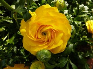 Ranunkel #1 - Ranunkel, gelb, Hahnenfußgewächs, Frühblüher, krautig, mehrjährig, Blüte, gelb