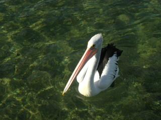 Pelikan - Pelikan, Vogel, Wassertier, Hautsack, Kehlsack, Wasservogel, Meer, Fischfresser, Schwimmvogel