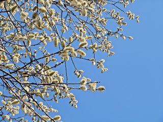 Weidenkätzchen im Frühling #2 - Weide, Blütenstand, Frühling, Frühjahr, blühen, Blätter, Salix, Laubbaum, Blatt, Ast, zweihäusig, männlich, weiblich, Kopfweide, Heilpflanze, Kätzchen, Weidenkätzchen, Palmkätzchen, Frühblüher, Frühling, blühen, Blüte, Pollen