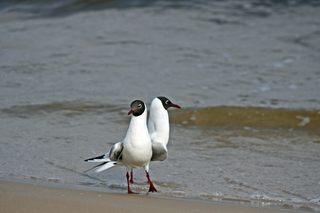 zwei Lachmöwen - Möwe, Vogel, Gefieder, Flügel, Schnabel, Feder, Meer, Ostsee, Wasser, Strand, Sand, Welle, Möwen, Vögel, Wasservogel, laufen